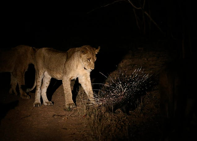 Watch As A Lone Porcupine Fends Off 17 Lions