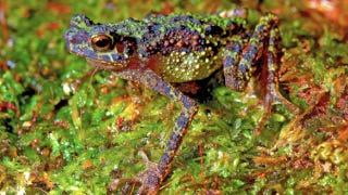 Illustration for article titled Rainbow toad rediscovered after 87 years