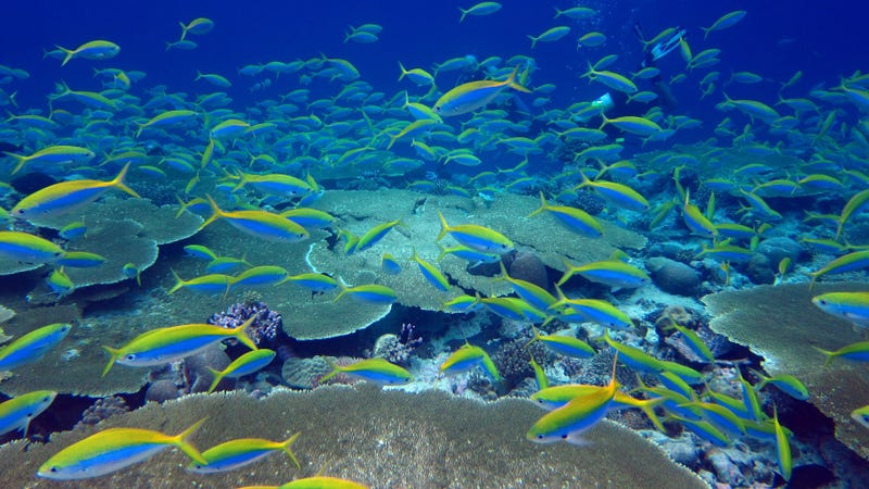 Yellow and blue fusiliers shoal over a reef in the Chagos Archipelago. Thanks, poop.