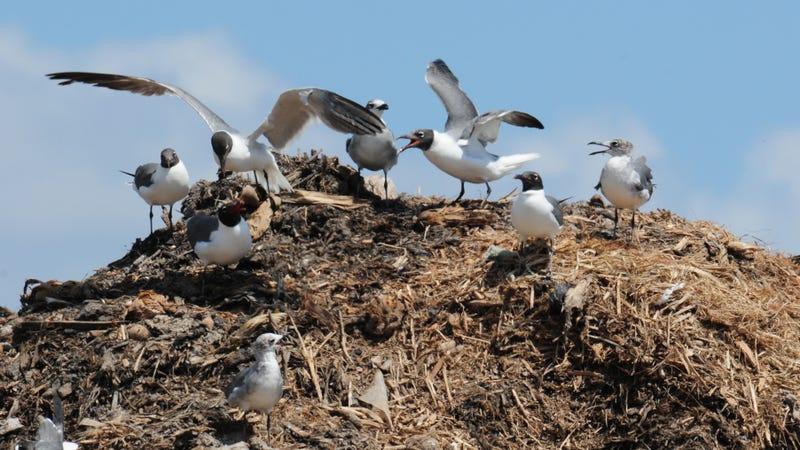 Laughing gulls at a municipal landfill in Texas.