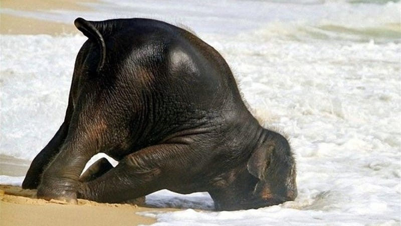 Illustration for article titled Here's an adorable baby elephant gallivanting around at the beach