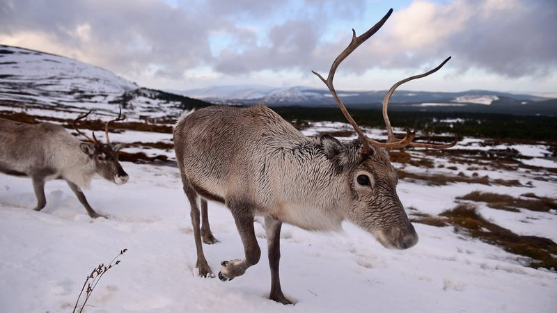 Image of a real live set of reindeer via Getty.