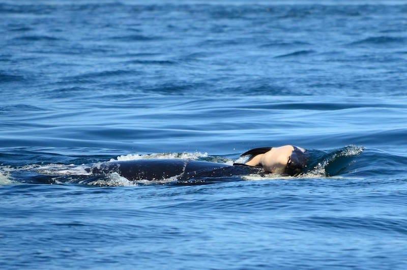 La orca J35 con el cadáver de su cría.