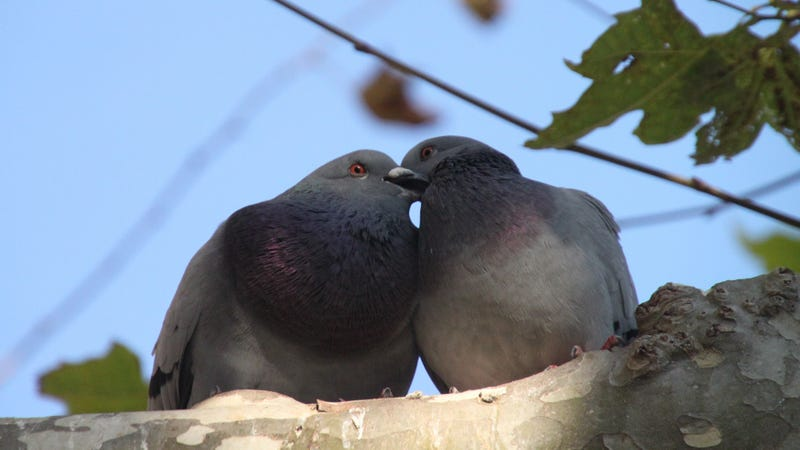 Pigeons form lifelong pairs.