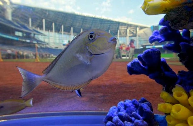 The marlins are testing the safety of their fish tank by for Marlins fish tank