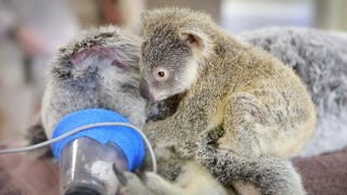 Illustration for article titled Touching Photos Show A Baby Koala Clinging To Mom While She Has Surgery