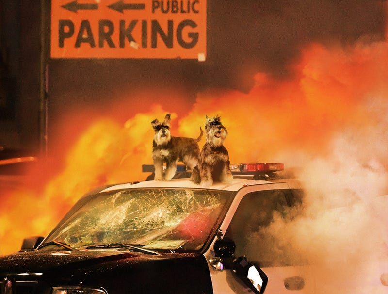 Illustration for article titled Schnauzers Rioting Outside Madison Square Garden Following Westminster Dog Show Defeat