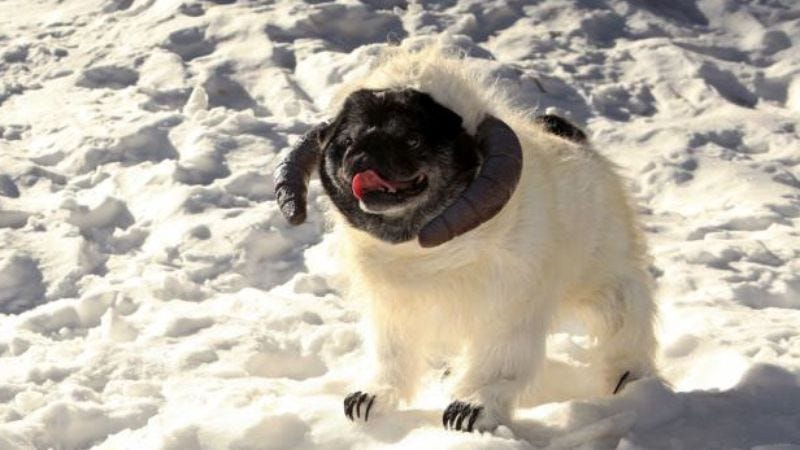 Illustration for article titled Here's the wampa scene from Empire Strikes Back recreated with a pug