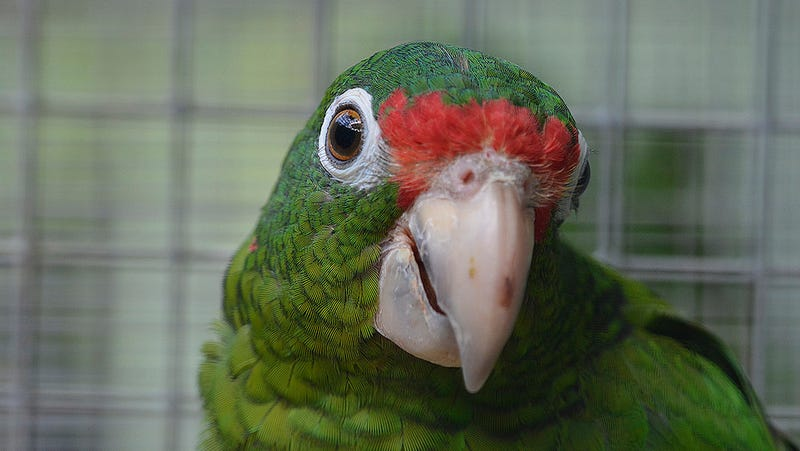A Puerto Rican parrot. Image: US Fish and Wildlife Service / Flickr