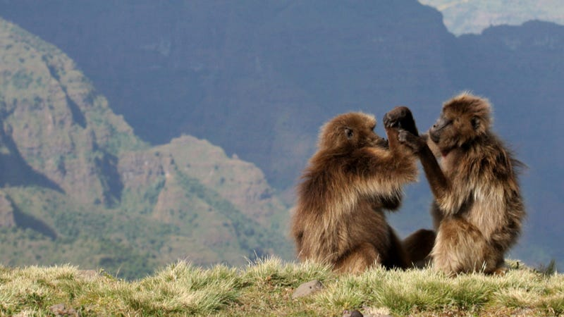 Illustration for article titled Gelada monkeys offer evidence that abortion is part of evolutionary fitness