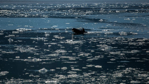 This Year s Arctic Sea Ice Is Failing to Form, Raising a Huge 'Red Flag'