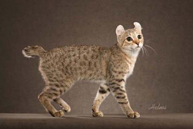 Kucing Fancy!