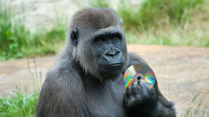 Illustration for article titled Heartbreaking: This Mother Gorilla Has Been Carrying A Broken 'Goodfellas' DVD For Days