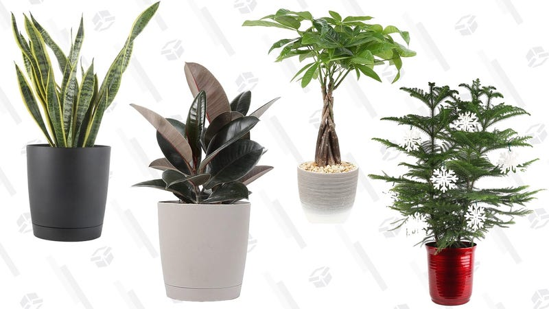 House Plant Gold Box | Amazon