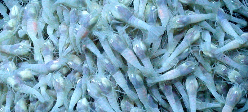 Illustration for article titled Scientists say these mysterious shrimp may hold keys to alien life