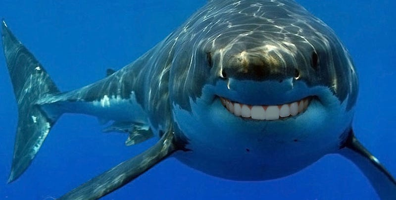 New Research Great White Sharks Are Surprisingly Similar To Humans