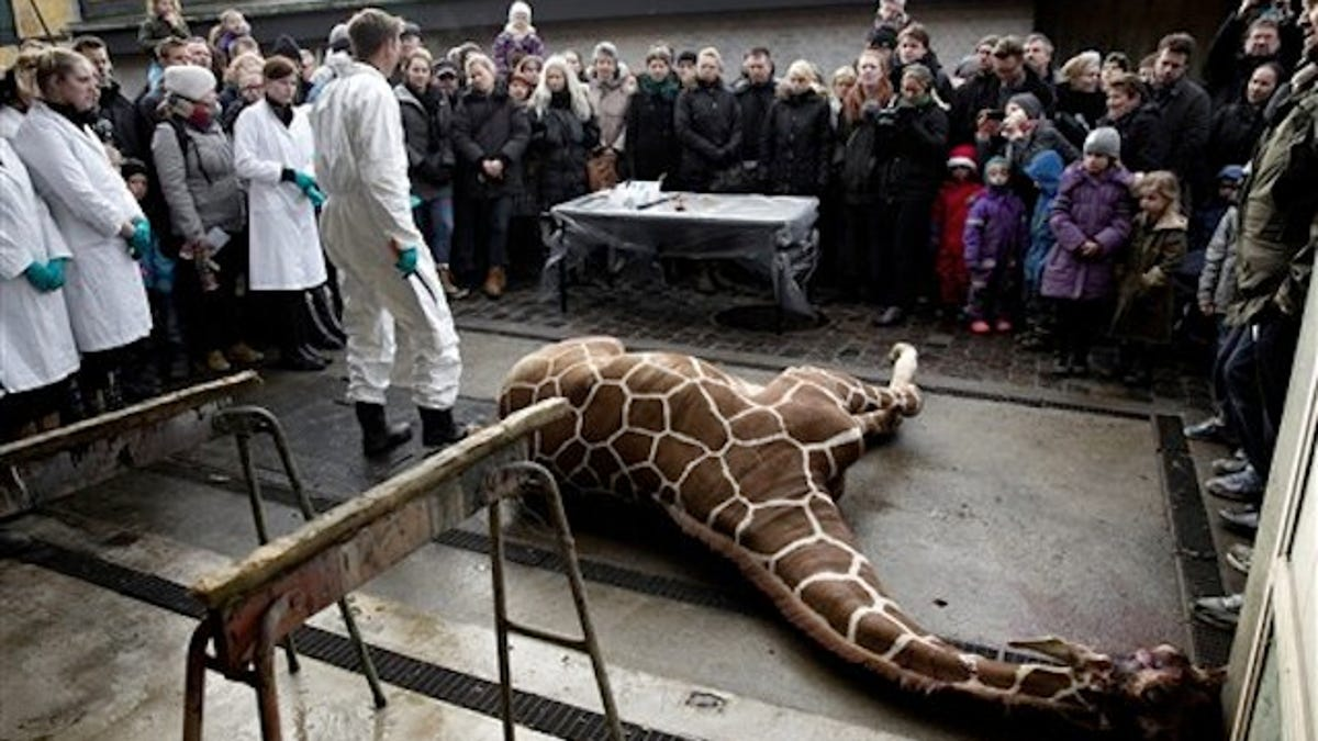 Zoo kills surplus giraffe in front of children feeds it to lions biocorpaavc Images