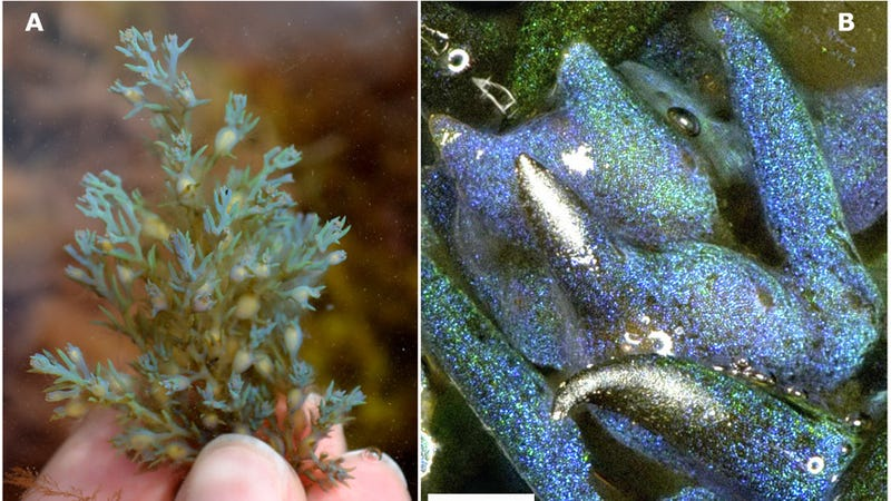 A piece of the algae, left. A close-up look, right, reveals its glittery internal structure.