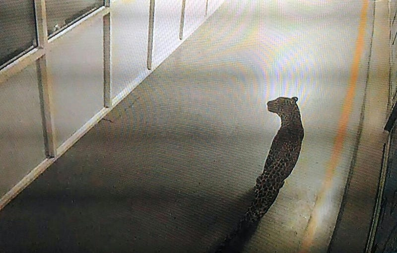 Prowling leopard tranquilized inside India's biggest vehicle factory