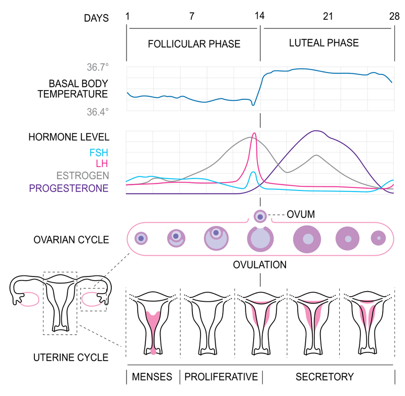 Die komplizierte Wissenschaft hinter, wenn Babys konzipiert werden