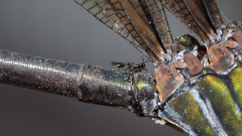 Illustration for article titled You'll Be Jealous of This Tiny Wasp Hitching a Ride on a Damselfly