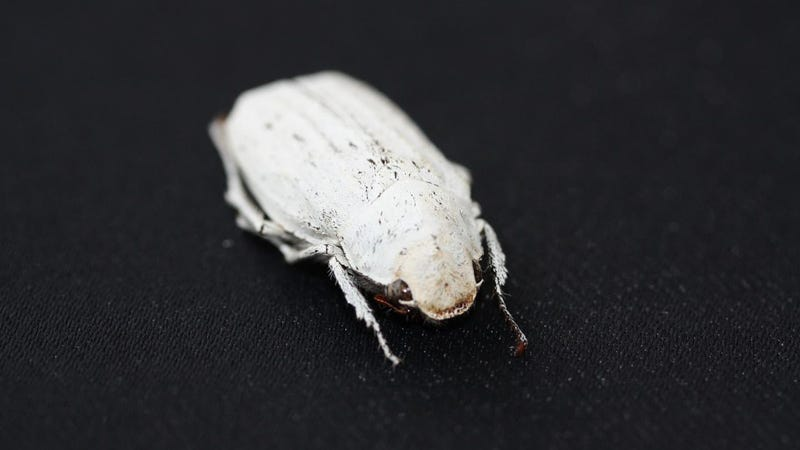 A Cyphochilus beetle.