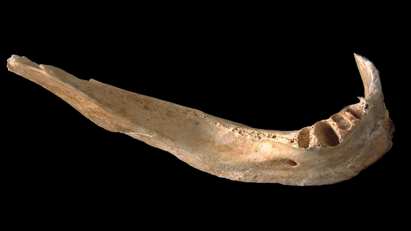 The jaw fragment used in the study.