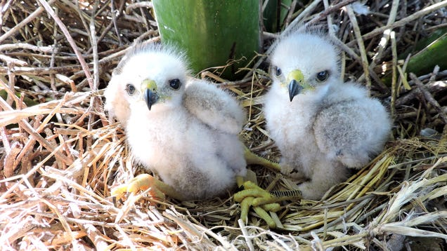 The Scientists Who Brave Angry Hawk Parents, Wasps and 80-Foot-Falls to Save Endangered Chicks