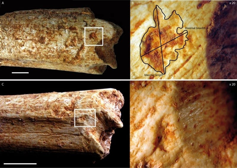 Tooth-marks on a 500,000-year-old hominin femur bone found in a Moroccan cave. Image: C. Daujeard/PLOS ONE