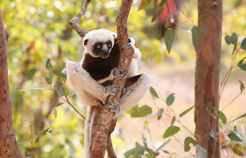 A lemur sits in a tree in Antananarivo on July 21, 2014 in Antananarivo, Madagascar.