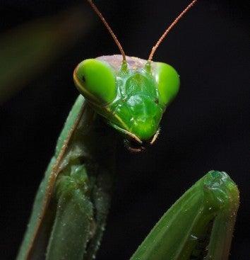 Illustration for article titled The Female Praying Mantis Was Framed!