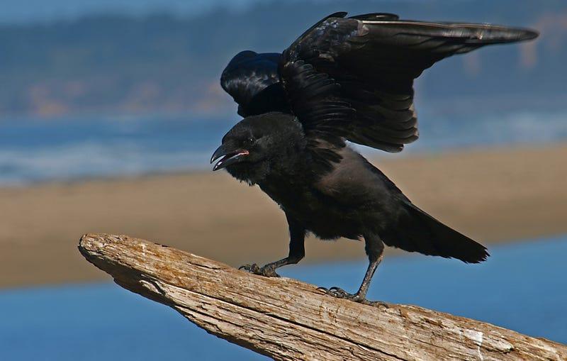 Illustration for article titled Los cuervos no solo reconocen rostros humanos, también te pueden guardar rencor si los engañas
