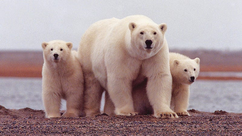 Polar bears in the Arctic National Wildlife Refuge. Image: US Fish and Wildlife Service/Flickr Creative Commons