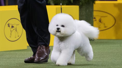 b8dd041e9f7 Dogs That Should Have Won The Westminster Dog Show Instead Of This Silly  Fluff Ball