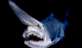Illustration for article titled The goblin shark of Tokyo Bay will make you soil yourself