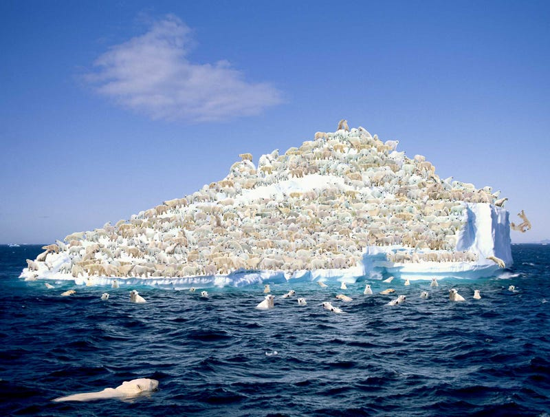 Illustration for article titled World's 22,000 Polar Bears Forced To Share Last Remaining Iceberg