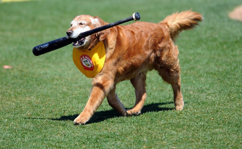 Illustration for article titled Minor League Bat Dog Of 11 Years Dies