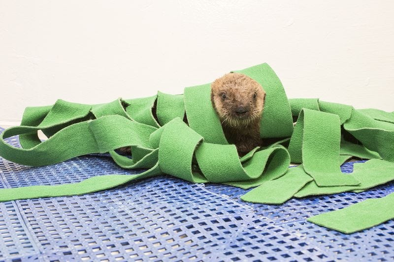 Illustration for article titled Watch This Rescued Sea Otter Pup And All Will Seem Right With The World