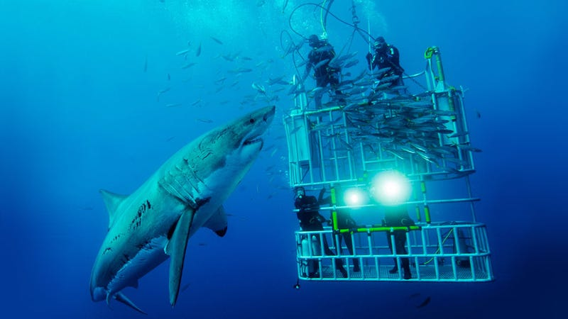 Illustration for article titled This Photo Really Gives a Perfect Idea of the Terrifying Size of a White Shark