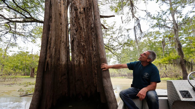 Thousand-year-old trees in the Atchafalaya Basin are being cut in the name of crude oil.