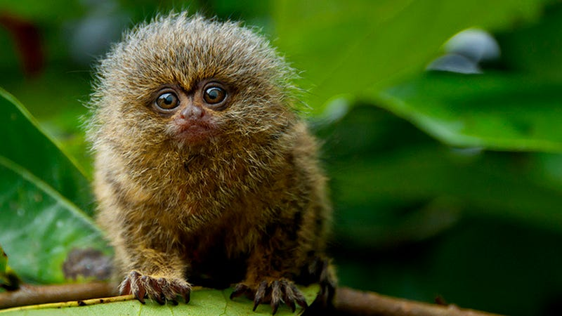 how to get a marmoset monkey