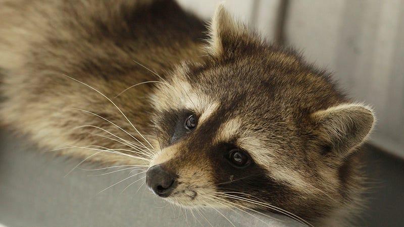Just a raccoon, not the traumatized raccoon. Photo: AP