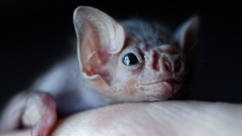 photo image Some Vampire Bats Have Started Biting Humans (and It's Probably Our Fault)