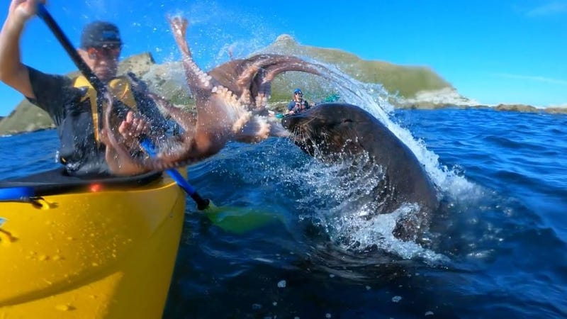Illustration for article titled Seal Slaps The Bejesus Out Of Kayaker With Live Octopus