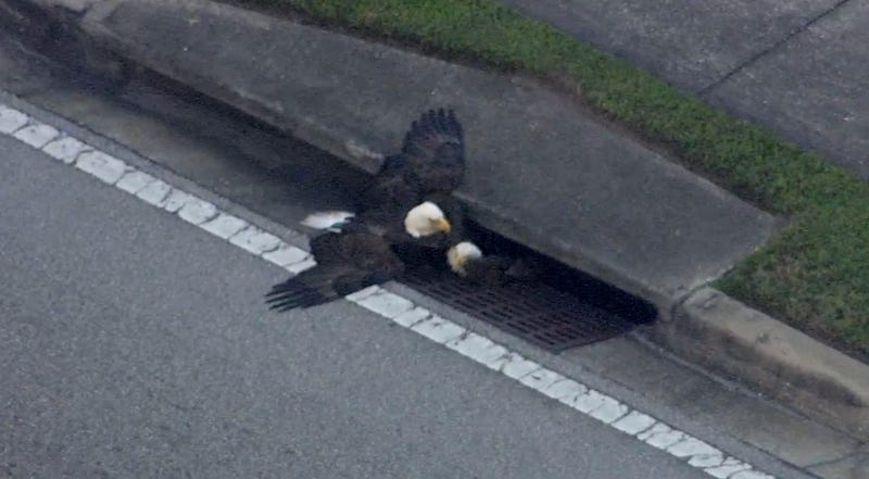 Two bald eagles stuck inside a storm drain in Orange County, Florida (Screenshot via WFTV)