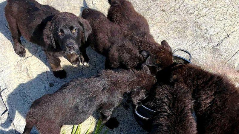 Illustration for article titled Nadie sabe exactamente cómo han acabado estos siete cachorros de Labrador en una isla desierta de Canadá