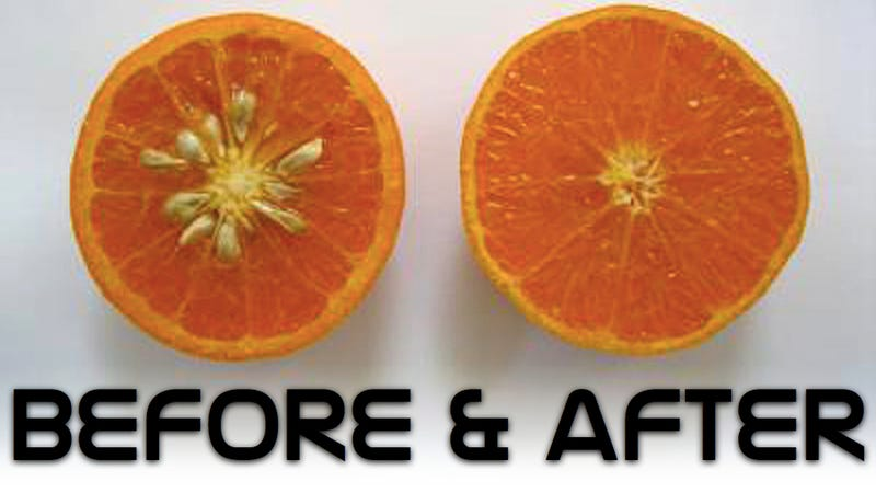 Illustration for article titled Mutation breeding creates the world's most perfect orange