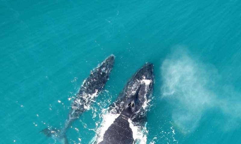 A mother-calf pair in Exmouth Gulf. Credit: Fredrik Christiansen