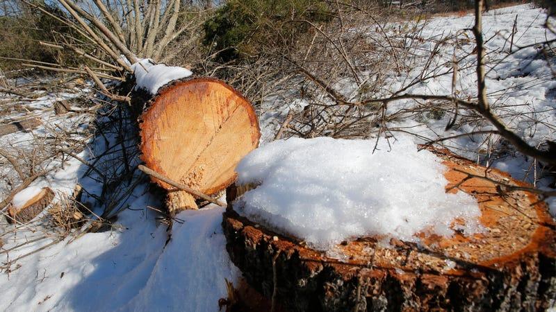 Downed trees mark the route of the Atlantic Coast Pipeline in Deerfield, Virginia.