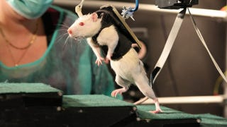 Illustration for article titled Groundbreaking rat experiment offers new hope for paralyzed humans